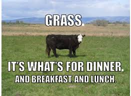 grass-fed cow